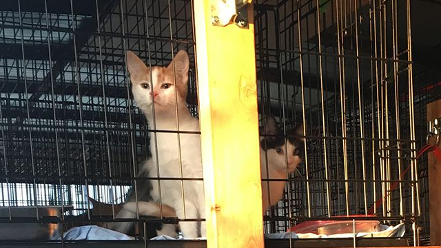 Caring Hearts Cat Rescue Cats to North Bay Lake Superior News