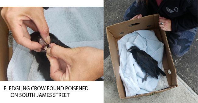 FLEDGLING CROW FOUND POISENED ON SOUTH JAMES STREET  Lake Superior News