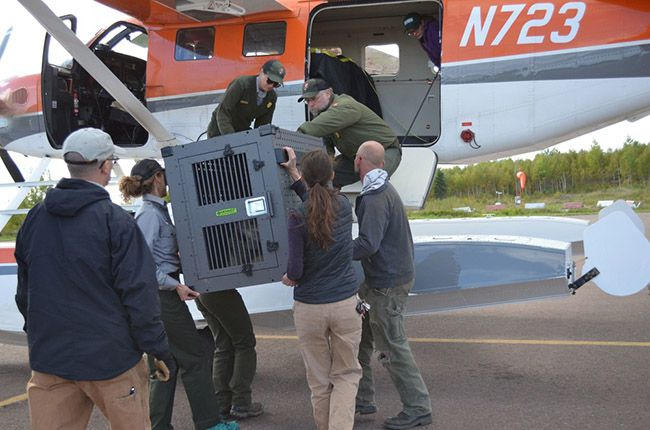 Wolves load on Float Plane Isle Royale   Lake Superior News