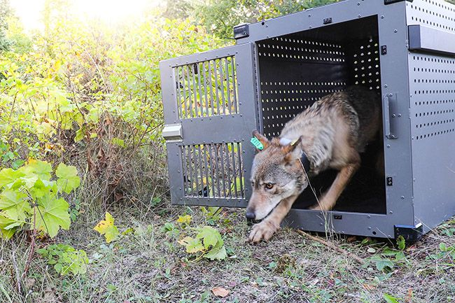 First Wolf releasee on Isle Royale  Lake Superior News
