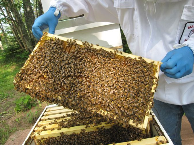 Dr. Edward Burkett, UW-Superior, tending to a hive.  Lake Superior News