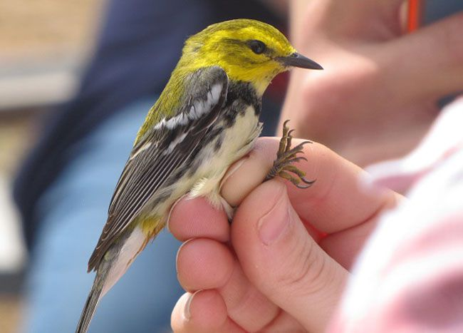 Black-throated Green Warbler  Lake Superior News